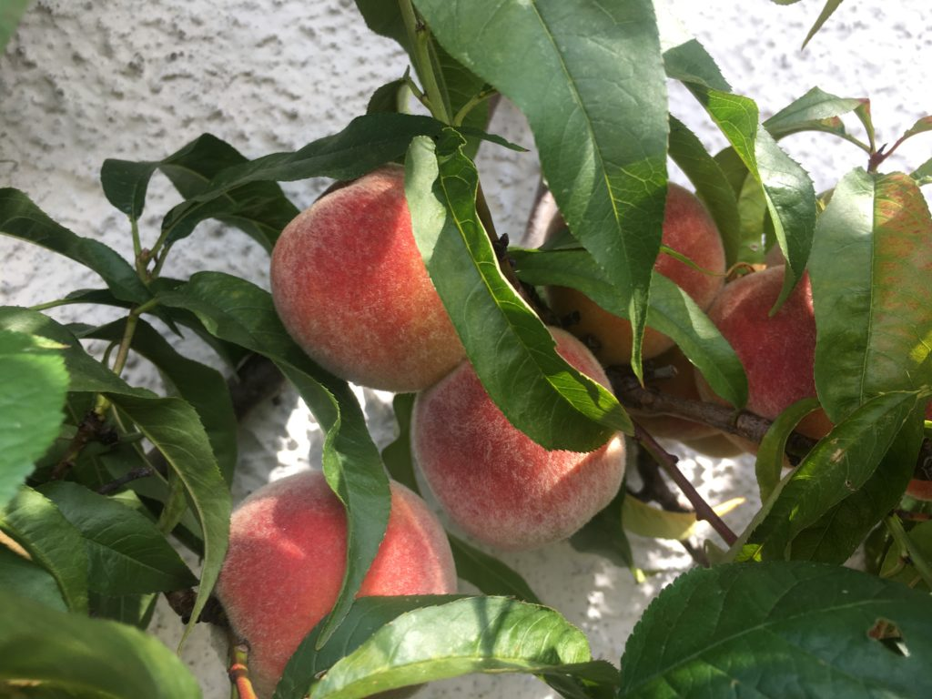 Kvist med äpplen